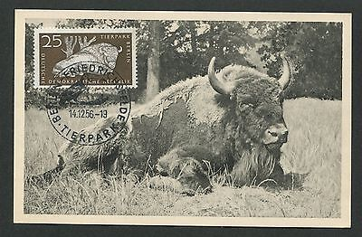 DDR MK 1956 TIERPARK BERLIN WISENT BISON MAXIMUMKARTE MAXIMUM CARD MC CM d4915