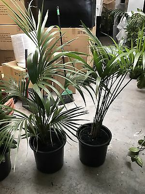 2 X Kentia Palm plants for sale Indoor Plant for sale Used Condition 1.2m