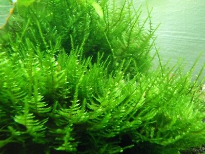 Taxiphyllum Spp. Spiky Moss Live Plant