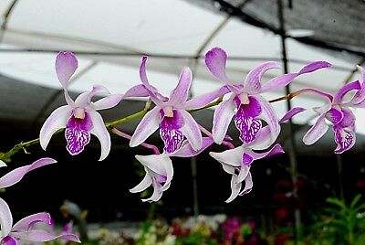 ORCHID FLASK- Dendrobium.Warawan 'Striped Lip' #11  '30+Seedlings'