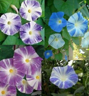Flower Morning Glory Ipomoea Flying Saucer Mix 40 Seeds