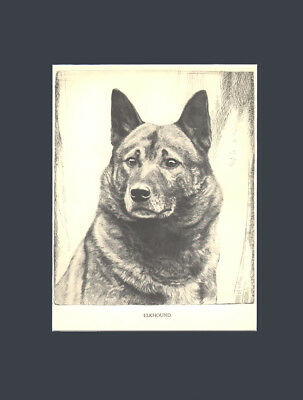 Norweign Elk Hound Dog Art Print 1935 Drawing  Malcolm Nicholson BEAUTIFUL EYES!