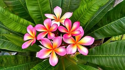 Plumeria,(Frangipani, the Temple Tree or Lei flower),One Hybrid rooted cutting.