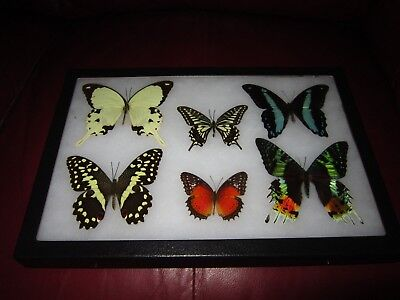 "real framed butterflies 6 mounted in 8x12"" riker display # papilio 0ab5"