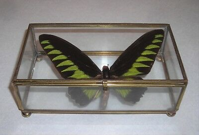 Real Butterfly in Glass Display Box, Taxidermy