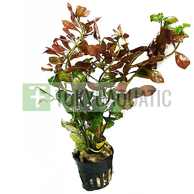 Ludwigia Repens Ovalis Potted Red Freshwater Live Aquarium Plant Decoration Stem