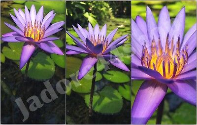 Digital Picture Image Photo Wallpaper JPG Lotus Nature Desktop Screensaver