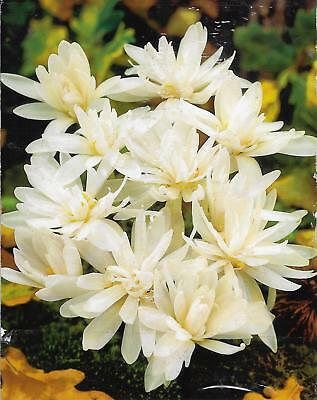 Colchicum Alboplenum (Naked Ladies)Bulbs Autumn Flower No Soil Needed Perennial