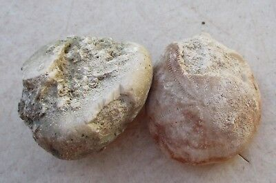Fossil Sea Urchin Lot of 2 Specimens for Display or Jewelery Craft 14