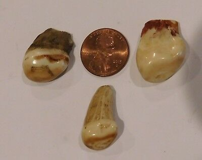 Lot of 3 vintage Elk teeth tooth in raw condition good luster & color - GREAT