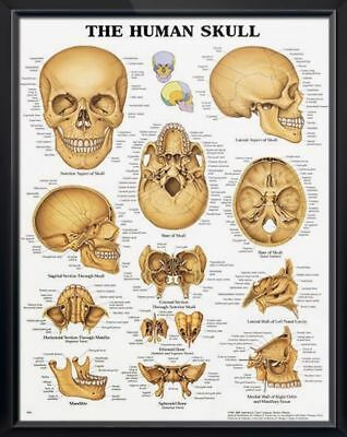 The Human Skull * Anatomy Poster * Anatomical Chart Company