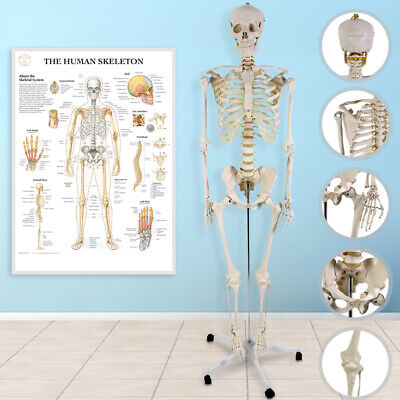 Skeleton Life Size 180cm Movable Anatomical Model Medical Education Stand+Poster