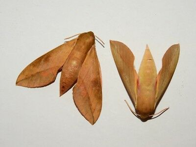 Moth, unmounted, Sphingidae, Cape Hawkmoth (Theretra capensis)