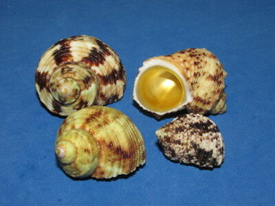 Seashells  Turbo Chrysostomus, 4 Shells  Lr2175