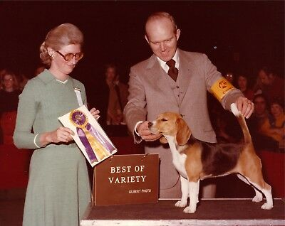Beagle Show Photo CH GARBER'S CUPCAKE, BOV 1978 w. Stan Flowers, unk. show/judge