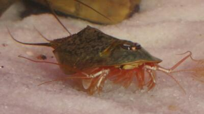 Triops Newberryi Tadpole Shrimp Starter Kit withTriopseggs food and instructions