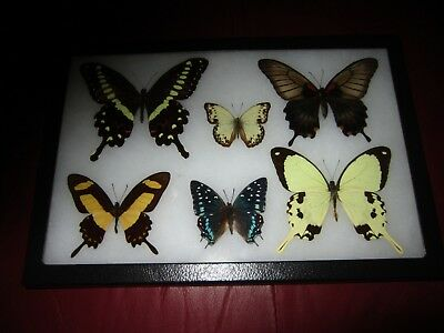 """real framed butterflies 6 mounted in 8x12"""" riker display # papilio 44"""