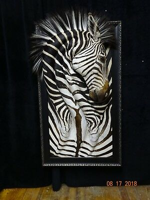 Zebra taxidermy, Wall Art, new mount, Zambia  Africa,51 inches tall,rare artwork