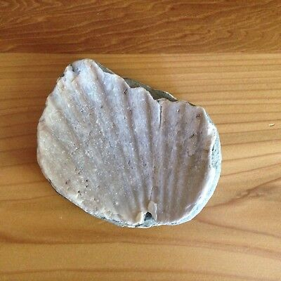 {Beachcombed in Northern California} Fossil Fossilized Scallop Shell Seashell