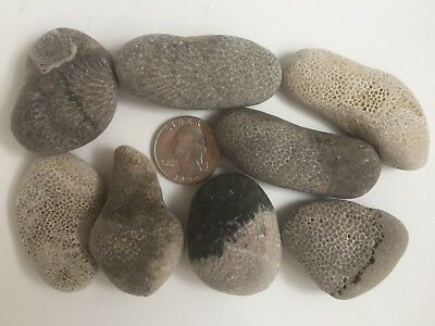 "(8) Michigan Charlevoix Stones – Favosite Honeycomb Coral Fossil Rock 1.7""-2.3"""