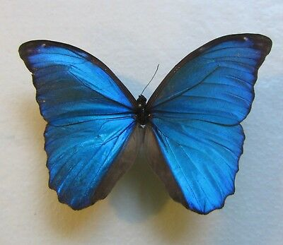 One Real Butterfly Blue Morpho Unmounted Wings Closed A2