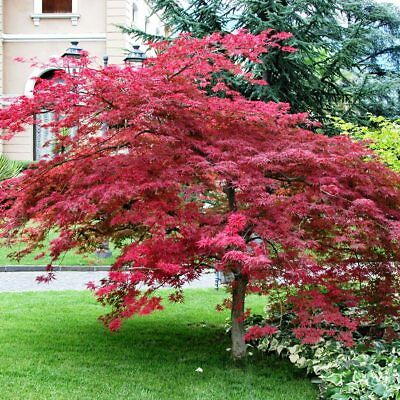 Japanese Maple  (Acer palmatum atropurpureum) 30 seeds