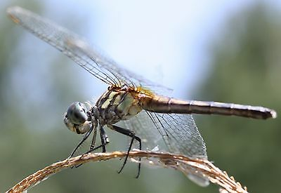 Dragonfly Photo Dragon Fly Beautiful Insect Nature Wildlife Collectible Print