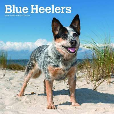 Blue Heelers 2019 16-Month Square Wall Calendar by Browntrout