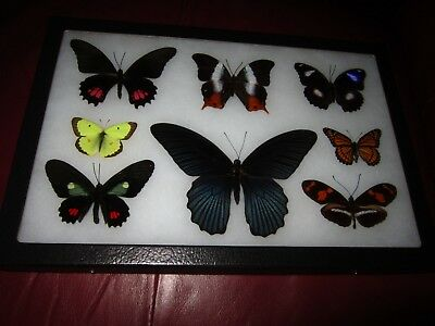 "8 real framed butterflies mounted in 8x12"" riker display # papilio104"