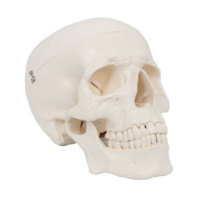 Anatomical Skeleton Skull Life Size Human Adult Model With 3 Part Removable