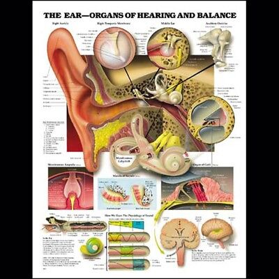 The Ear - Hearing Audiology ENT * Anatomy Poster * Anatomical Chart Company