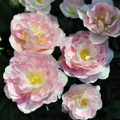 Peony Flowering Tulip Bulbs 'angelique' Plant Now For Hardy Perennial Spring Blm