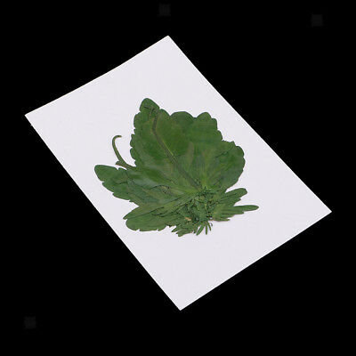Multi Pressed Dried Green Leaf for Scrapbooking DIY Phone Case Decorations