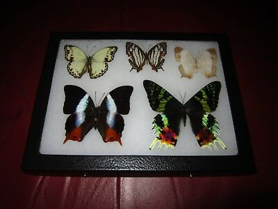 real  butterflies MOTH  mounted framed 6x8 riker collection lepidoptera #XO7