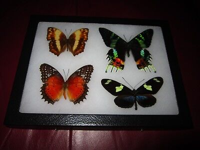 real  butterflies MOTH  mounted framed 6x8 riker collection lepidoptera #XO12