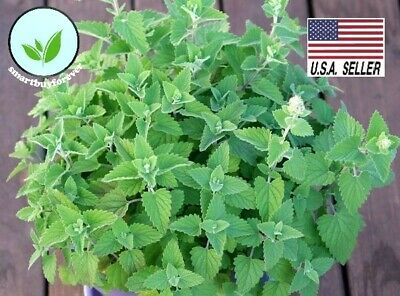 1000+ ORGANICALLY GROWN Catnip Catmint Seeds Heirloom NON-GMO Herb Healthy Meow!