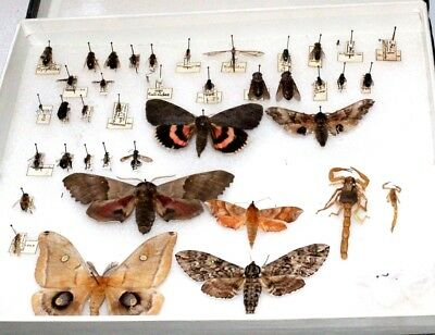 Insect Collection 35+ Specimens Several Identified by Family and Species w/ Tags