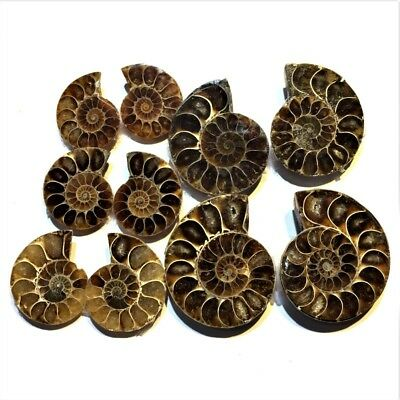 Natural Beautiful Fossil Ammonite Shell Top Quality Loose Gemstone Wholesale Lot