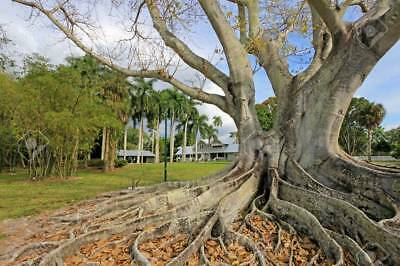 FICUS BENGHALENSIS TREE 100+ Seeds, Banyan, Bengal Fig, East Indian