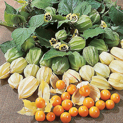 "Cape Gooseberry  ""PHYSALIS peruviana"" 50 Seeds"