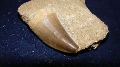 Mosasaur tooth on Matrix real teeth with fossil Dinosaur Marine #3