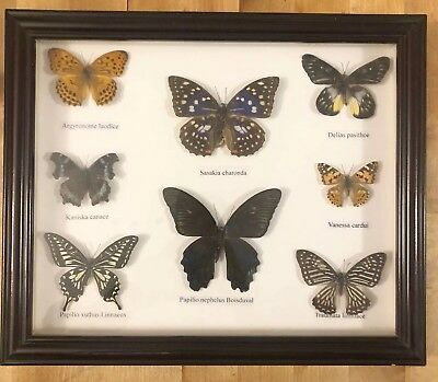 Butterfly Collection Display Of 8 Framed Nature Taxidermy