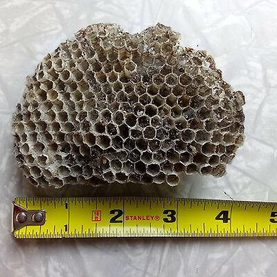 "4"" x 2.75"" Paper Wasp Nest w/ Cob / SpiderWeb~Taxidermy Bee Hornet Comb from WI"