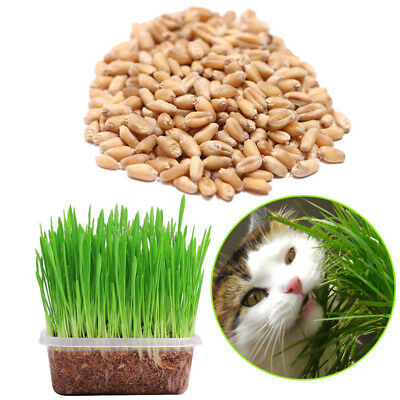 150g Pet Cat Grass Seeds Plant Seed Home Garden Organic OAT Wheatgrass Sprouting