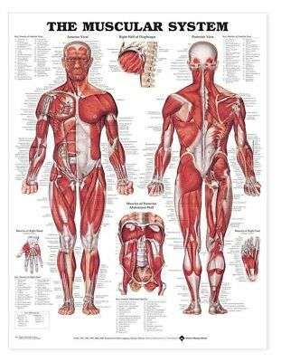 The Muscular System * Anatomy Poster * Anatomical Chart Company