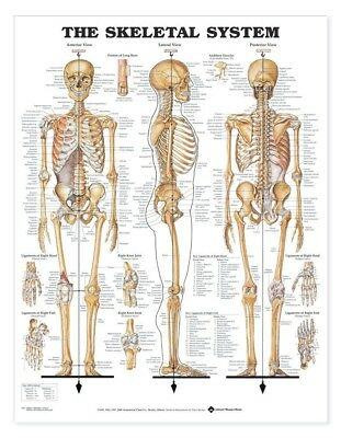 The Skeletal System * Anatomy Poster * Anatomical Chart Company