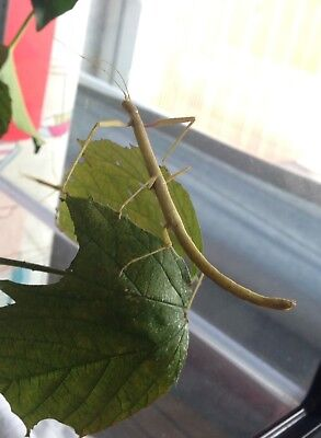 15 x Indian Stick Insect Eggs *From UK, Inc Postage*