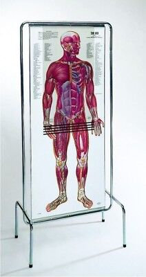 The Thin Man- Sequential Anatomical Figure - One In Stock Now