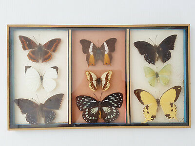Frame Butterflies Entomology Taxidermy Cabinet Of Curiosity Vintage Ref. Pc