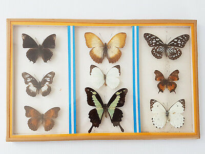 Frame Butterflies Entomology Taxidermy Cabinet Of Curiosity Vintage Ref. Pba